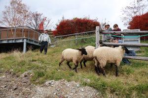 羊の飼育風景1