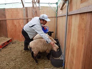 羊の飼育風景2